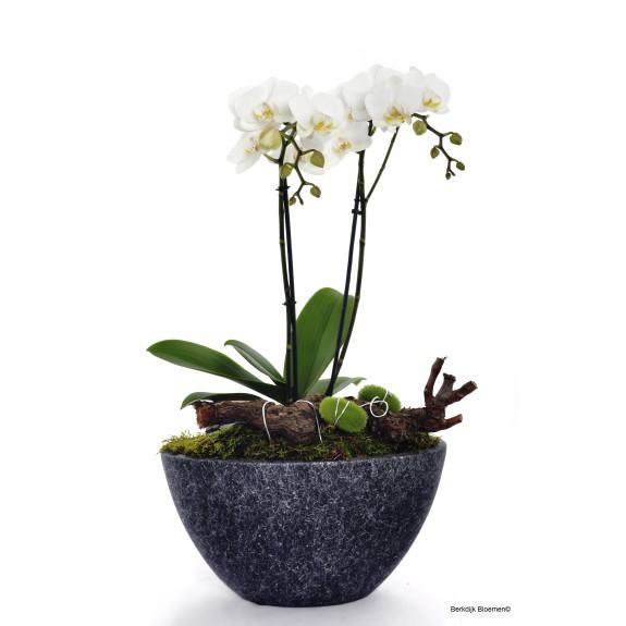 Phalaenopsis in schaal.